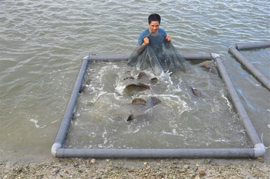15 năm kinh nghiệm nuôi cá mú nghệ, thu trên dưới 4 tỷ đồng/năm