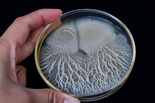 7 tác dụng của Bacillus subtilis trong nuôi trồng thủy sản