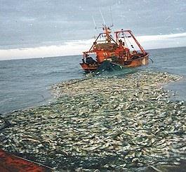 Chile: Sản lượng khai thác cá nổi tăng