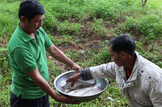 Thu nhập cao từ mô hình nuôi cá thát lát thương phẩm trong ao