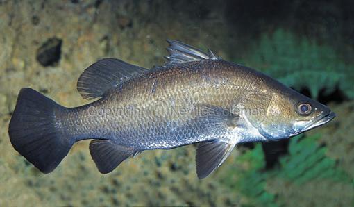 kỹ thuật nuôi cá chẽm trong ao đất