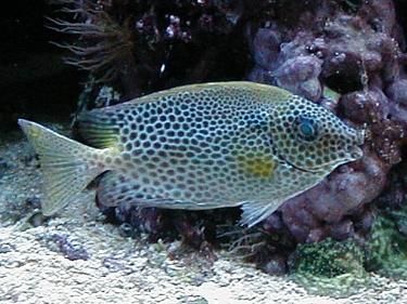 Kỷ nuôi cá dìa trong ao kết hợp tôm sú