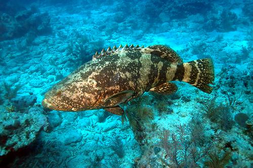 Kỷ thuật nuôi cá mú đen trên lồng bè biển