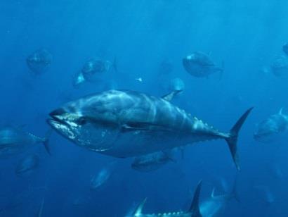 Tháng 8/2018 đánh dấu một loạt sự kiện cho ngành cá ngừ toàn cầu