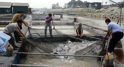 Để nuôi cá lồng phát triển bền vững