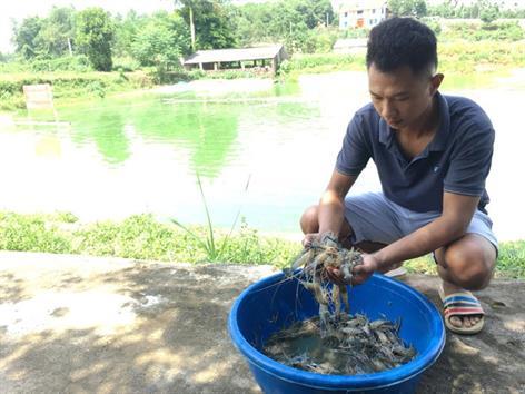 Hà Nội: Đầu tư hơn 15,55 tỷ đồng phát triển nuôi tôm càng xanh