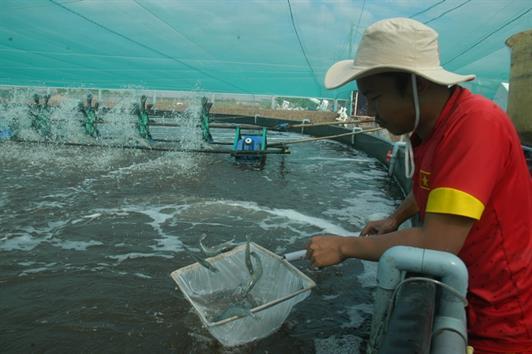 Bạc Liêu: Hiệu quả mô hình nuôi tôm siêu thâm canh