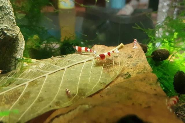 Rầm rộ lá bàng khô thần dược của giới cá cảnh: 1.000đồng/lá
