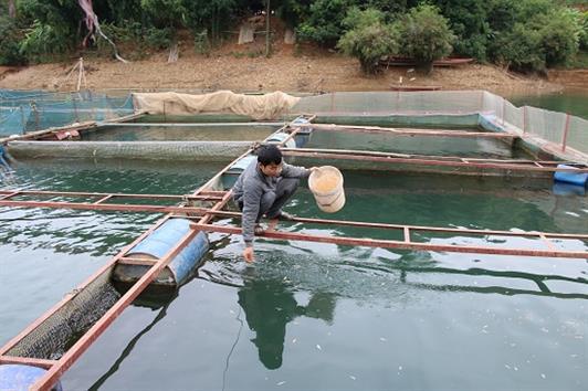 Nuôi cá đặc sản ở hồ thủy điện Sơn La, bán chạy như tôm tươi