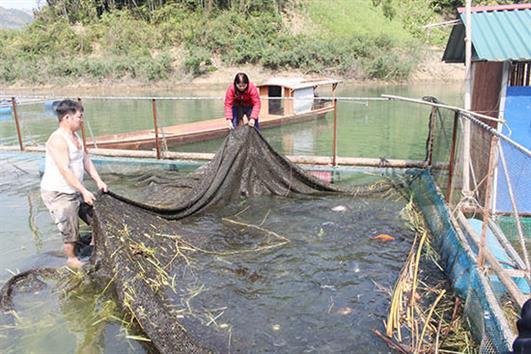 Nuôi cá lồng ở Tường Phong
