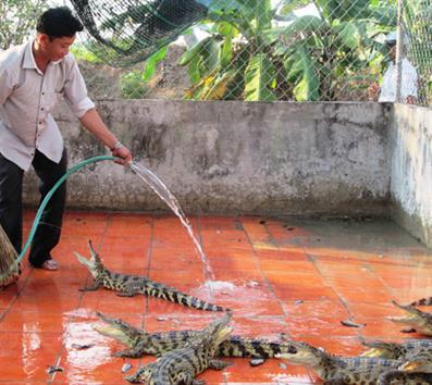 ĐBSCL: Ồ ạt nuôi cá sấu, bất chấp đầu ra