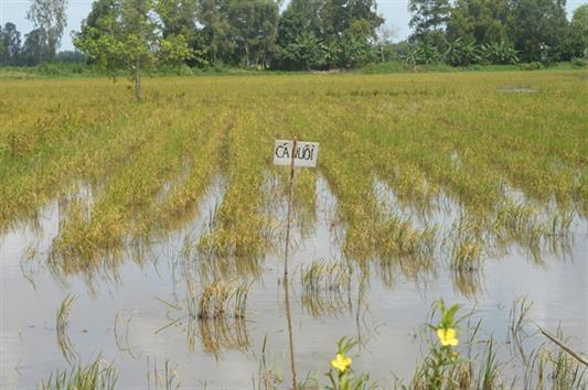 Hậu Giang: Nuôi cá trên ruộng thay lúa thu đồng