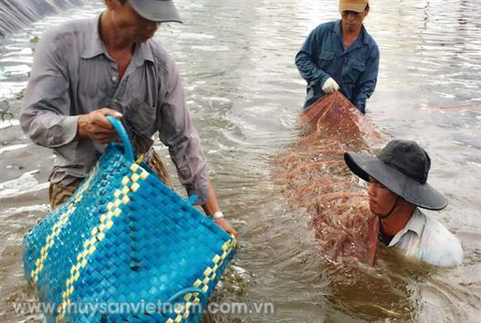 Tăng cường quản lý nuôi tôm nước lợ