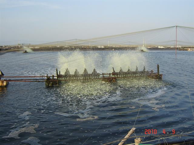 Nuôi ghép cá rô phi với tôm có thể nâng cao chất lượng nước và kiểm soát vi khuẩn gây bệnh AHPND/EMS