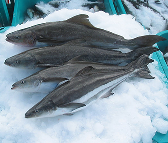cobia meat