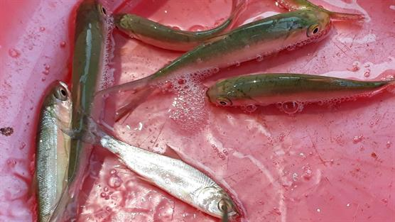 Milkfish fingerling picture