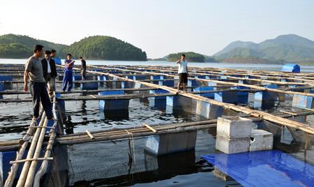 Video cá bớp giống và cách nuôi