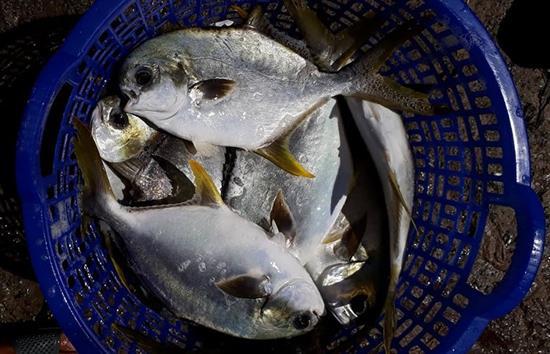 cá chim vây vàng thương phẩm