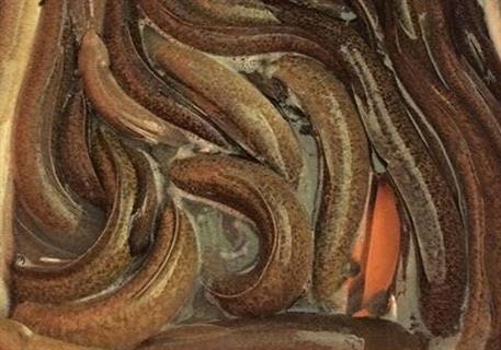 cá chình bông thương phẩm