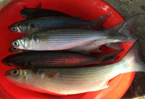 cá đối mục thương phẩm