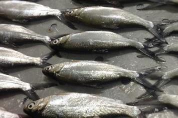 cá măng thương phẩm