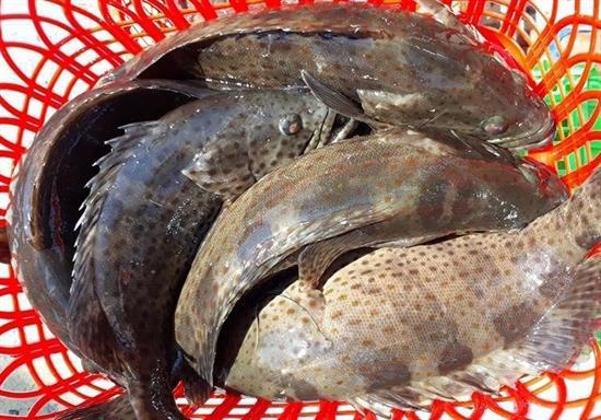 cá mú đen thương phẩm