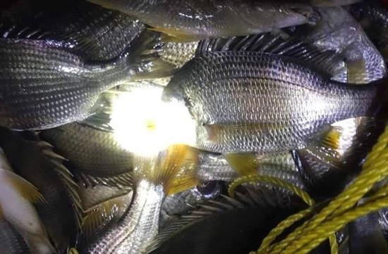 cá tráp thương phẩm