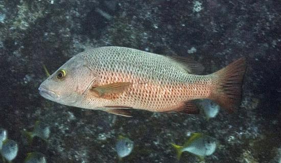 Loài cá này có thân hình trụ tròn với đầu ngắn, mắt nhỏ và mõm tầy. Da trơn do bao phủ bởi những vẩy rất nhỏ. Hai vây lưng của con vật tách biệt nhau nhưng vây bụng thì gần nhau...
